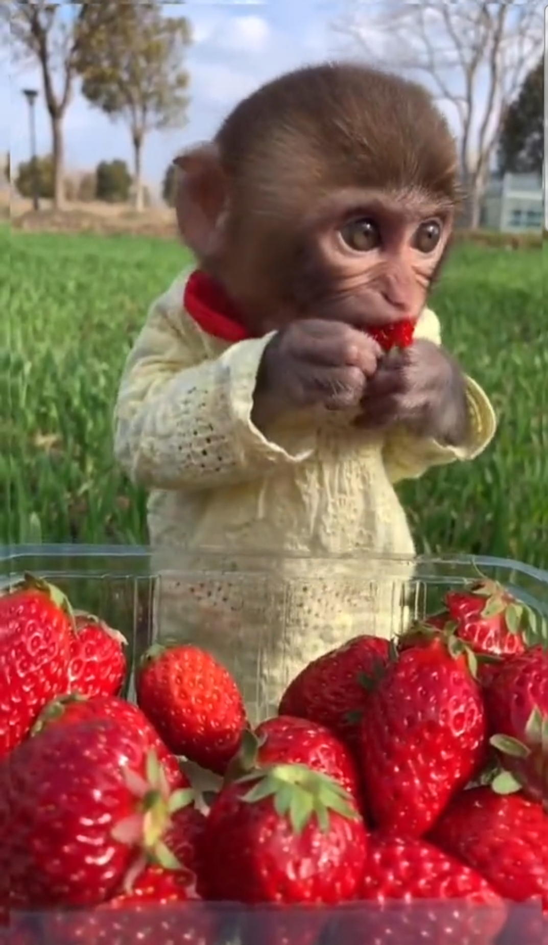 Strawberry Monkey